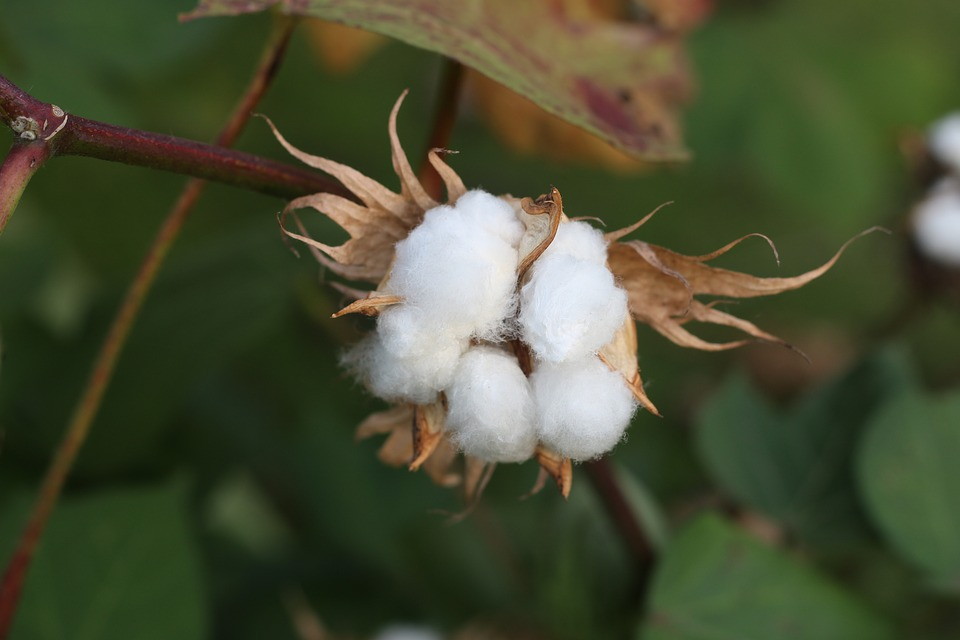 turkish_cotton